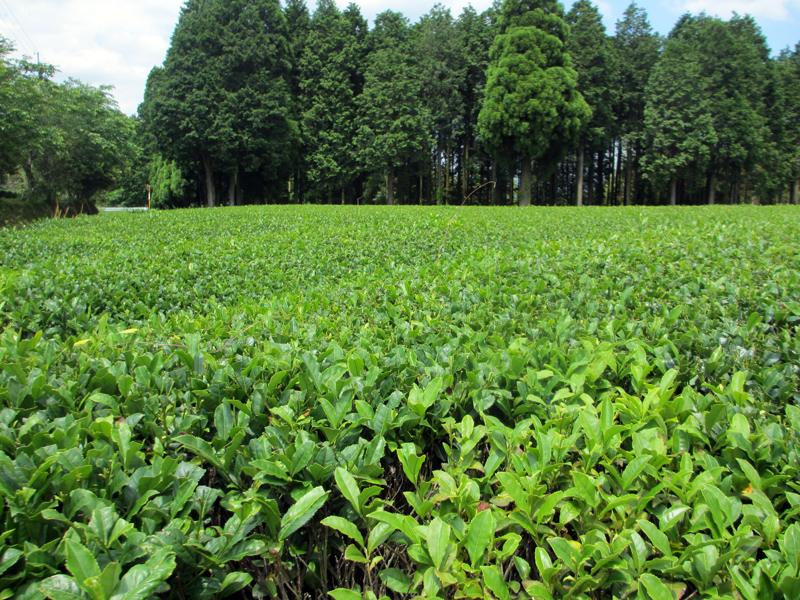 Uncut tea field